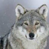 chuckwolf