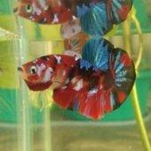 Sukchanon Betta Fish